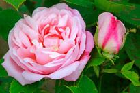 Rose Mademoiselle Renee Denis MioulaneMAP NPM 914374914