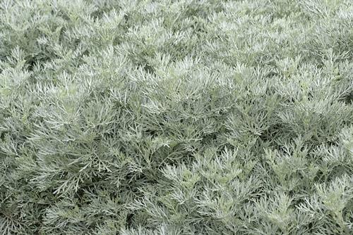 Artemisia Powis Castle MAP NPA 1303050008