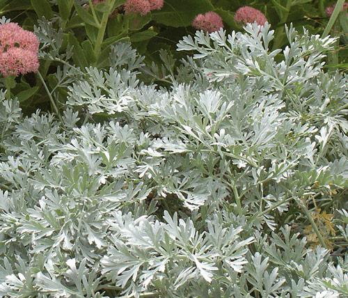 artemisia absinthum lambrook silver