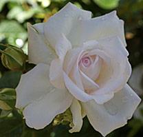 Rose Roseblush Mioulane MAP NPM 719516849