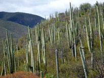 Foret cactus Mexique Flora