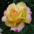 rose Peace Gros Plan Flora