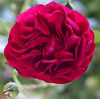 Kordes Rose Bordeaux Vignette NewsJardinTV
