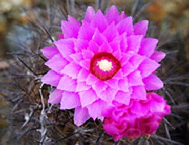 Eriosyce chilensis Cactus Rare