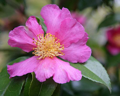 Camellia sasanque Mioulane MAP NPM 850278050