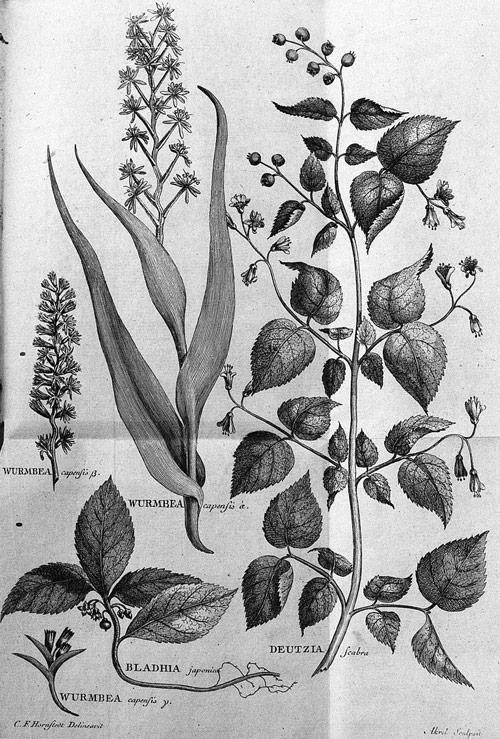 Flora capensis Hornstedt plants