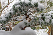 BonsaI hiver Neige Mioulane MAP NPM 914378197