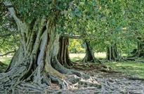 Ficus religiosa Mioulane MAP NPM GIP0108854