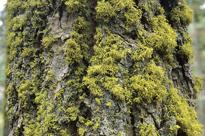 Mousse Tronc Sequoia Mioulane MAP NPM GIP0099920