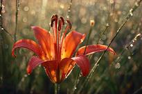 Rosee Lilium Flora