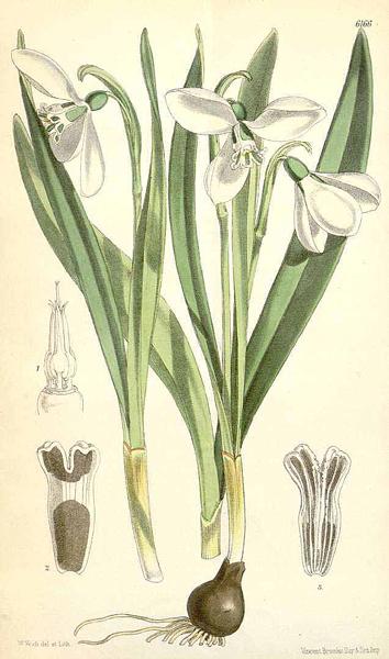 Perce Neige Curtis Botanical Magazine