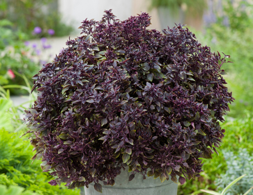 Ocimum basilicum Purple Ball