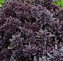 Basilic Purple Ball