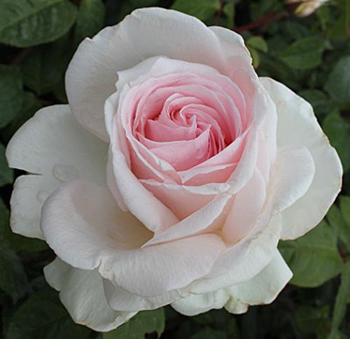 Rose Francis Meilland Flora