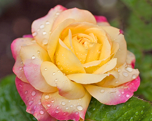 Rose Madame Antoine Meilland Flora
