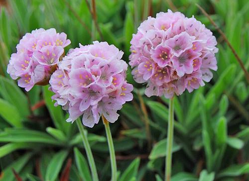 armeria berlangensis Flora