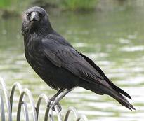Corneille Corvus corone