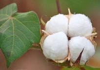 Gossypium herbaceum Coton Flora