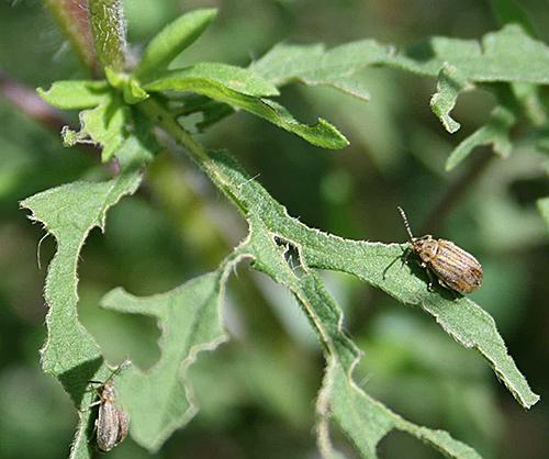 Ophraella communa chrysomele defoliation
