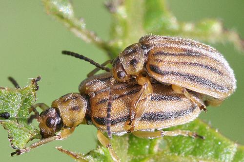 Ophraella communa copulation