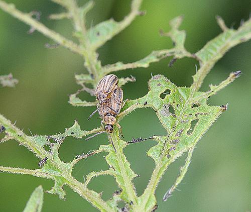 Ophraella communa degat feuille Fauna