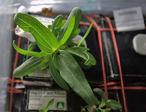 Zinnia Plant ISS Nasa