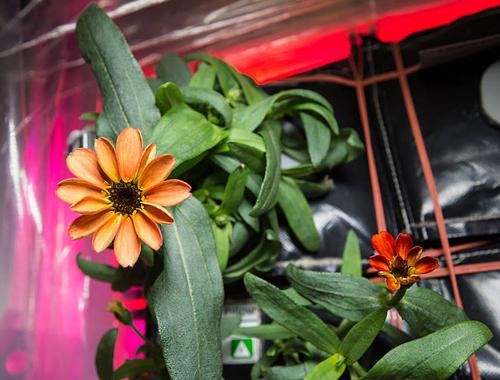 Zinnia floraison ISS Nasa