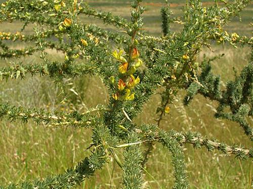 Achyronia chamissonis Flora
