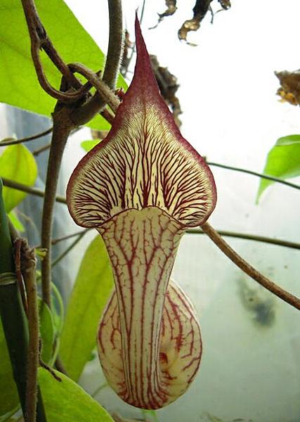 Aristolochia chamissonis Flora