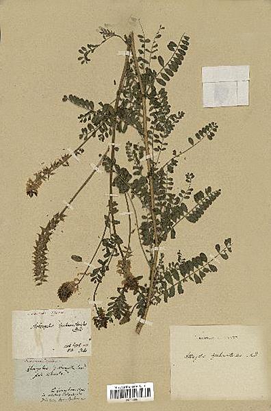 Astragalus chamissonis MNHN