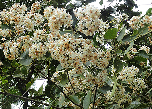 Cordia trichotoma Flora