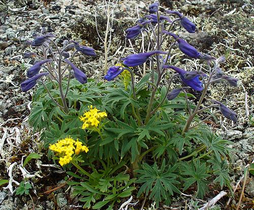 Delphinium chamissonis Flora