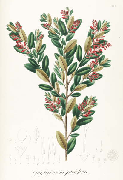 Gaylussacia pulchra Pohl127
