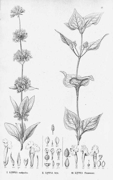 Lantana chamissonis