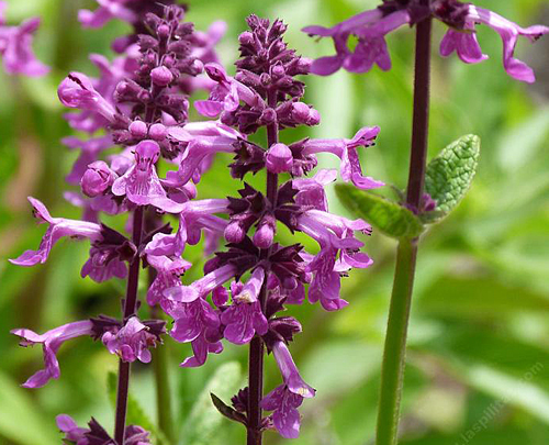 Stachys chamissonis 2