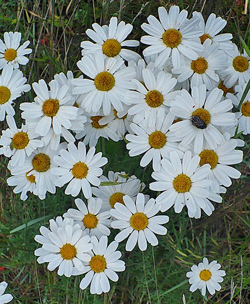 Tanacetum cinerariifolium pyrethre Flora