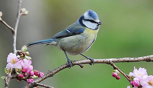 Mesange bleueu Fauna