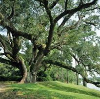 Quercus virginicus Mioulane MAP NPM GIP0095096