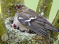 Pinson des arbres nid Fauna
