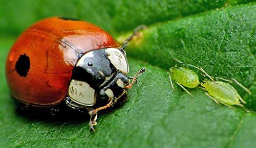 Coccinelle adalia Pucerons Fauna