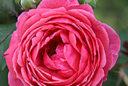 Rose Princesse Jardins Marie Jose Vignette Mioulane MAP 9N7B5533