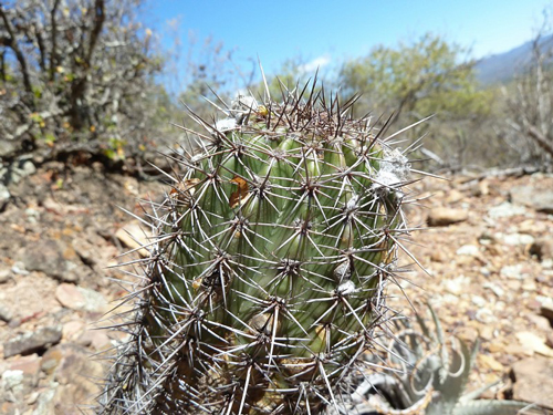 Echinopsis bridgesii Nature