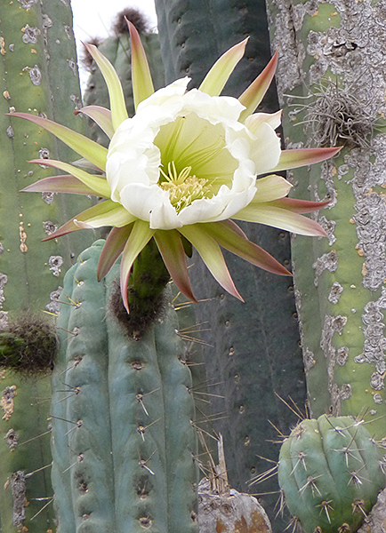 Echinopsis lageniformis Fleur