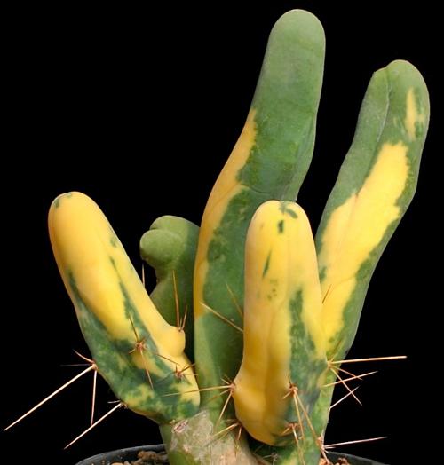 Echinopsis lageniformis variegata