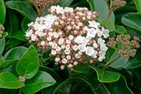 Viburnum tinus Mioulane NPM 850330116