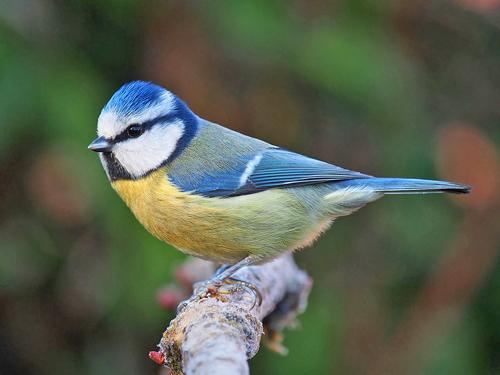 Mesange Bleue Fauna