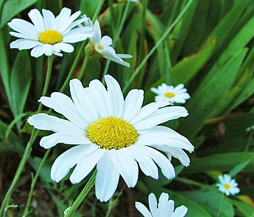 Tanacetum cinerariifolium Flora 26249831