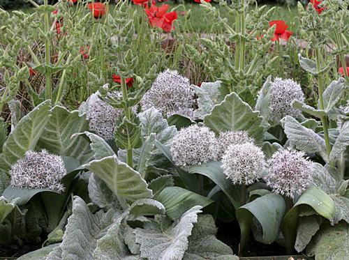 Allium karataviense Mioulane MAP NPM 850312264