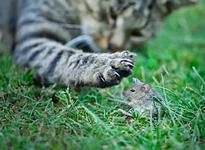Chat et souris Fauna