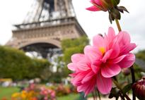 Paris Tour eiffel Dahlia Flora